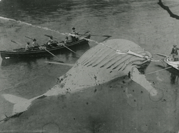 Whaling at Eden in 1887
